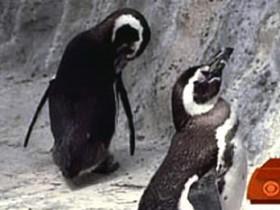 Пингвин-гей Гарри