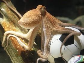 Пауль осьминог