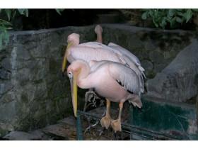 красные пеликаны