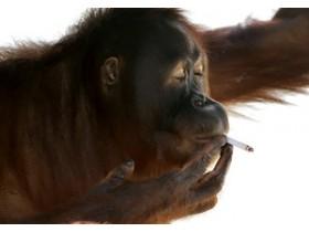 орангутан-курильщик