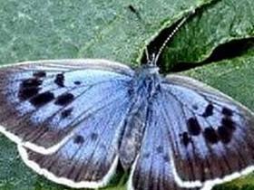 бабочка,голубянка
