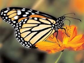 бабочка,монарх