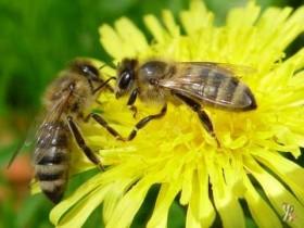 Пчелиный головной мозг