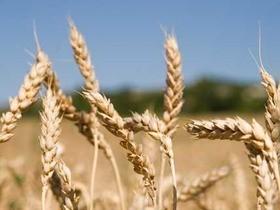 зерно,пшеница