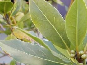 кавказский листок