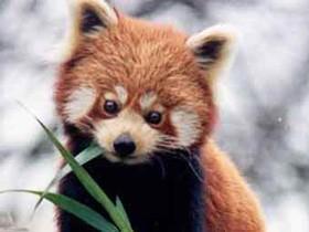 алая,панда