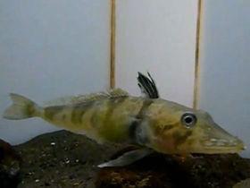 белокровная рыба