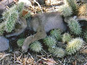 койот в кактусах