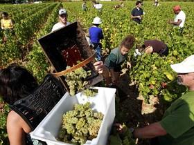комплектация винограда