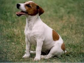 собака,джек-рассел-терьер