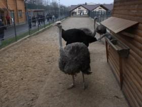страус в межигорье