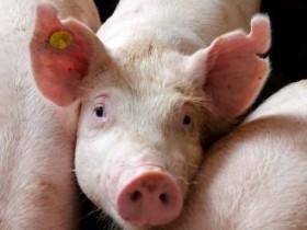 хряк,свинья,