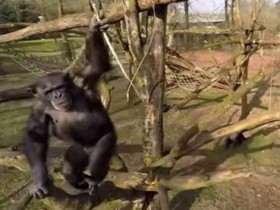 шимпанзе,обезьяна