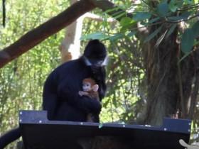 В Австралии появилась на свет необычная апельсиновая горилла (ВИДЕО)