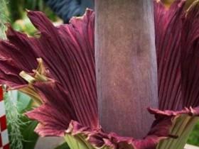 трупный цветочек