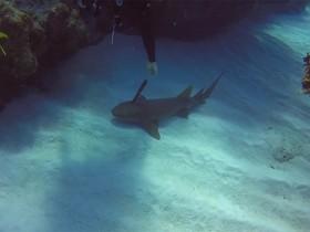 акула с ножом