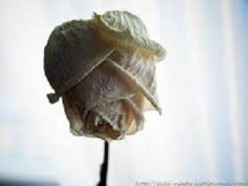 увядающая роза