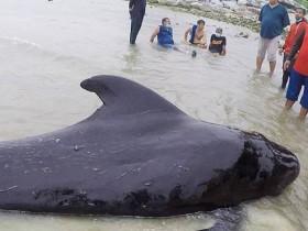 черный дельфин