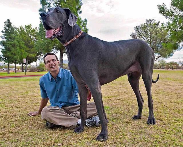 Высочайшая собака во всем мире проживает в Соединенных Штатах