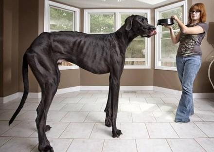 В Соединенных Штатах проживает высочайшая собака во всем мире (ФОТО)