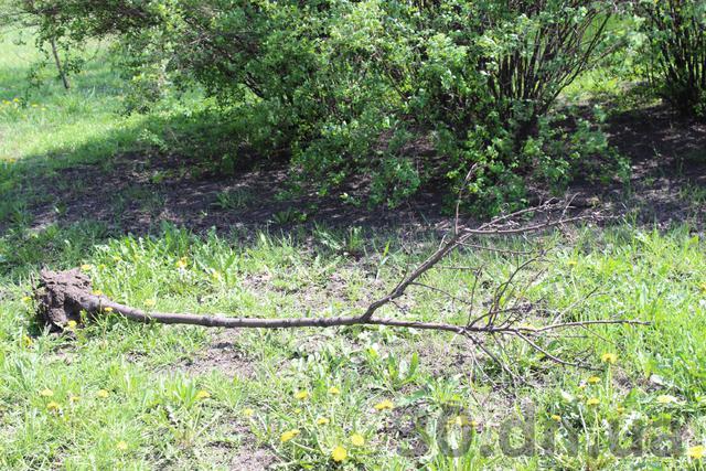 В Енакиево умерло дерево, усаженное Януковичем