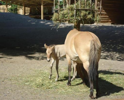 Киевский зоопарк дополнился жеребенком Пржевальского