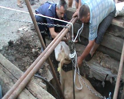На Харьковщине кормилица завязла в колодце (ФОТО)