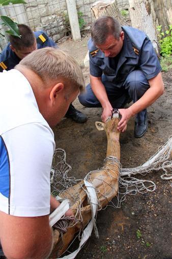 В Мелитополе спасатели улавливали заблудившуюся косулю
