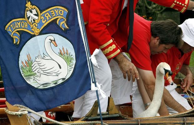 В Лондоне празднично окольцевали лебедей