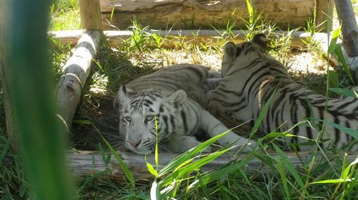 В Бердянск прибыли тигры-альбиносы