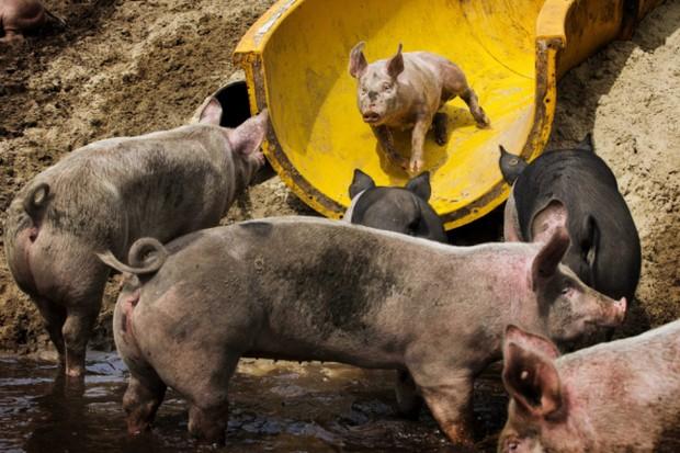 """В Голландии обжили для свиней """"грязепарк"""""""