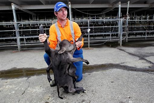 В Австралии появился на свет теленок-мутант