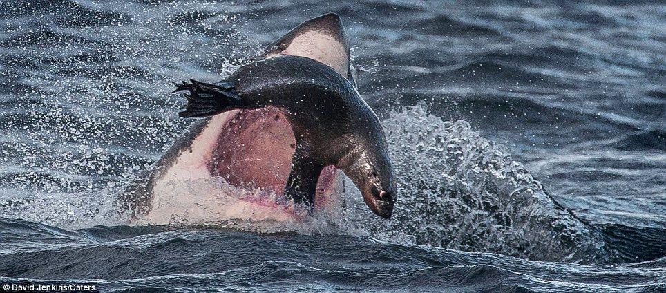 Фотоистория тюленя, который появился на свет в рубахе (ФОТО)