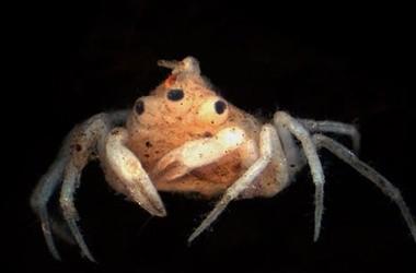 В Австралии обнаружили краба с 3-мя глазами