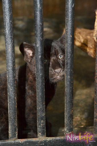 В Николаевском зоопарке наконец-то показали малышей-ягуаров
