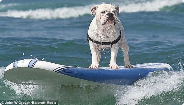 Собачий сёрфинг показали на пляже Калифорнии (ФОТО, ВИДЕО)