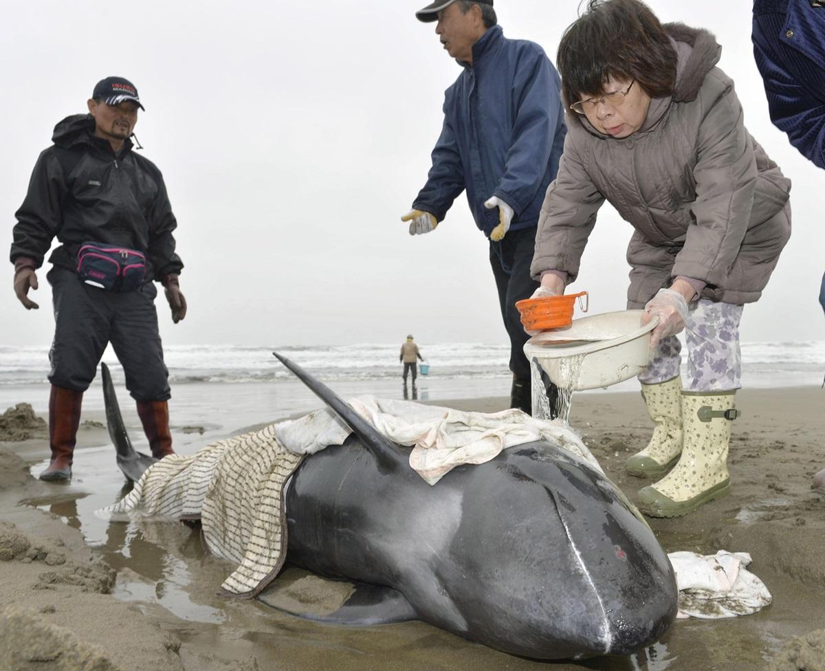В Японии на берег выбросились около 150 дельфинов (ФОТО)
