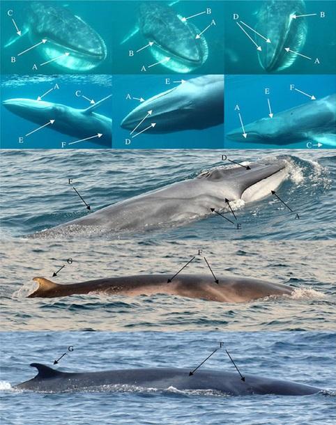 Редкого кита на Земле в первый раз сняли специалисты (ВИДЕО)