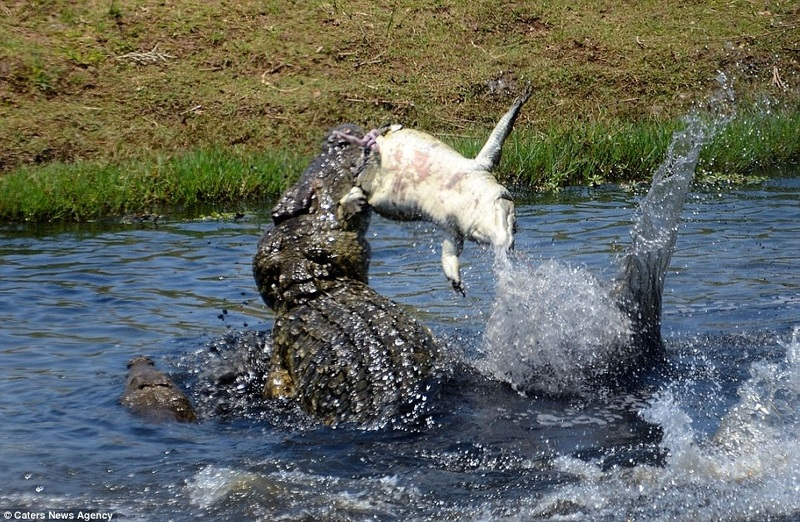 ФОТО: Как крокодил-каннибал поедает собственного сородича