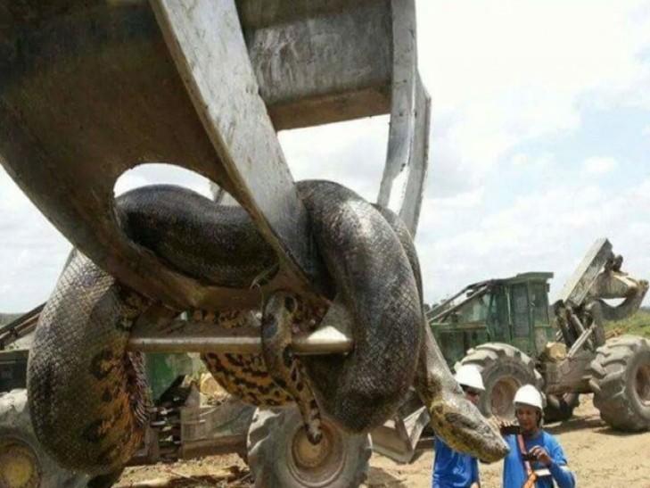 Видео:В Бразилии нашли гигантскую 400-килограммовую анаконду
