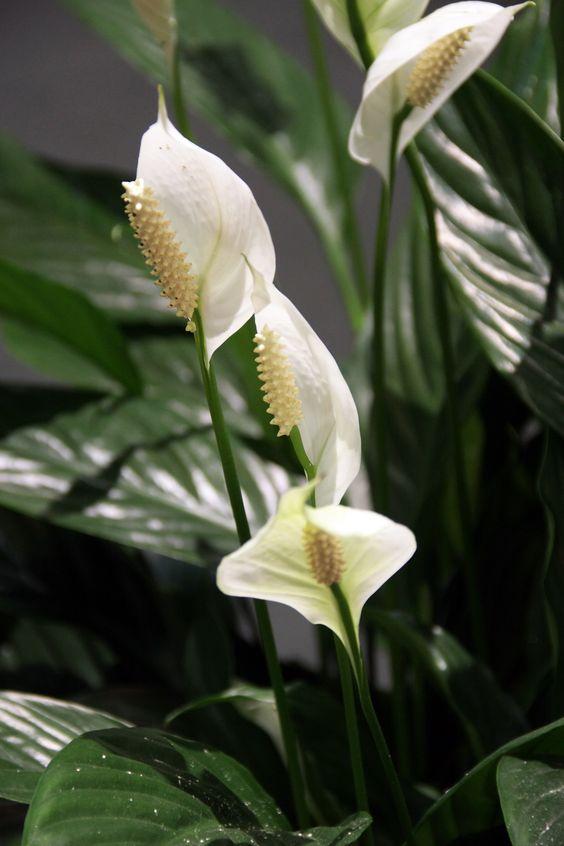 Комнатные растения, которые полезны для здоровья